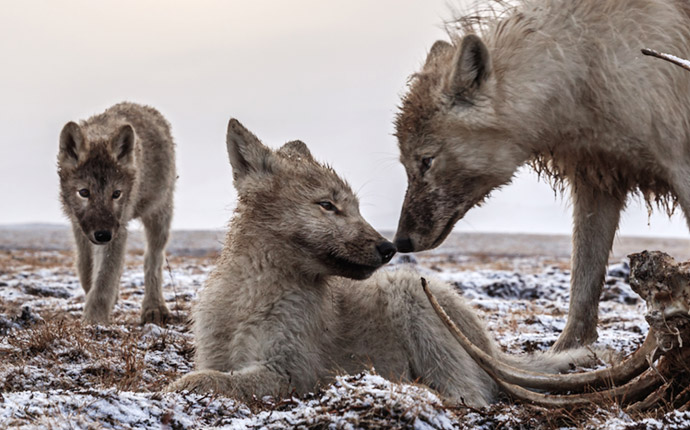 Wolves beside carcass